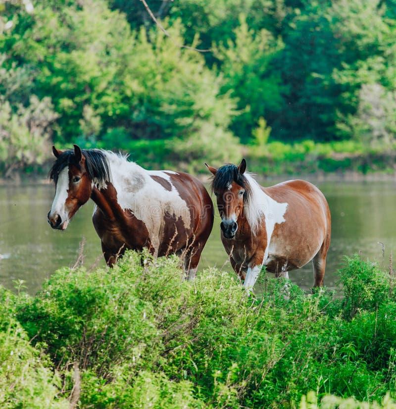 El caballo vino al r?o beber el agua foto de archivo libre de regalías