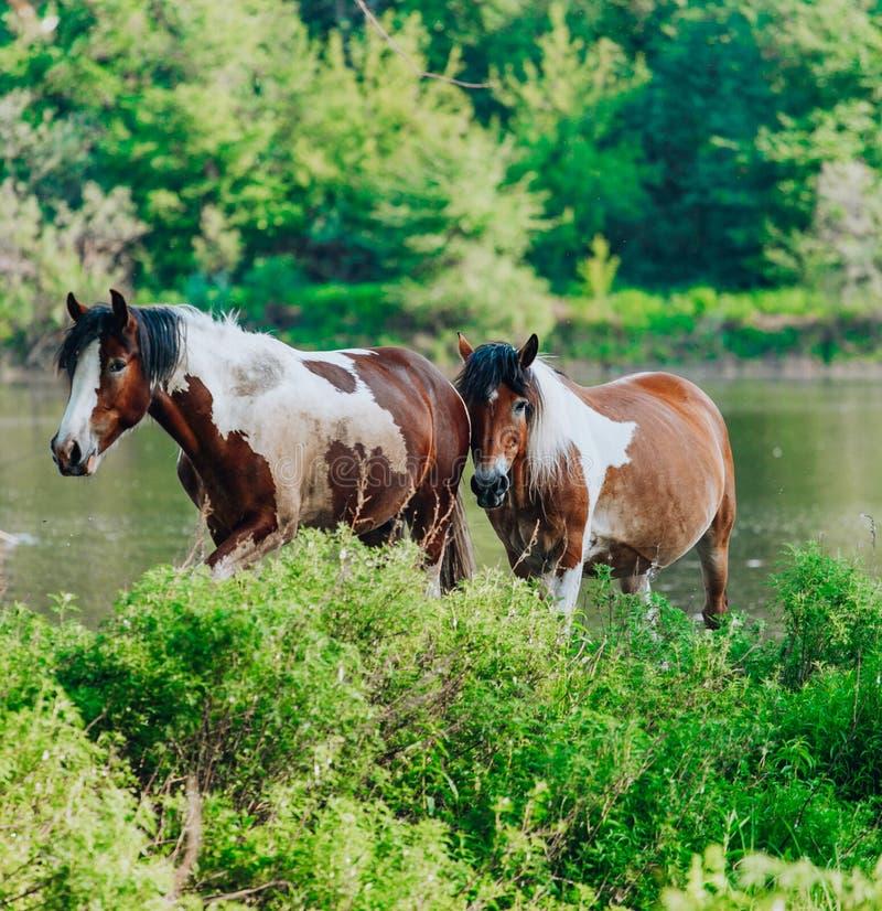El caballo vino al r?o beber el agua imágenes de archivo libres de regalías