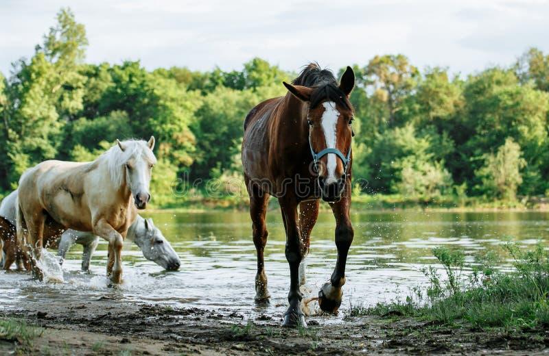 El caballo vino al r?o beber el agua fotografía de archivo libre de regalías