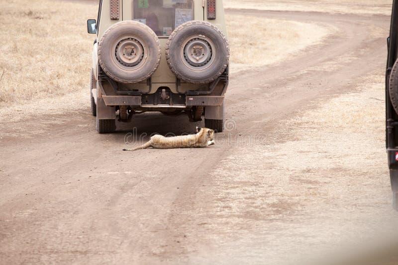 El cachorro de Lion Panthera Leo está mintiendo debajo del jeep del safari fotos de archivo libres de regalías