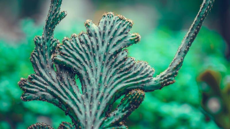 El cactus es un miembro del Cactaceae de la familia de plantas imagen de archivo