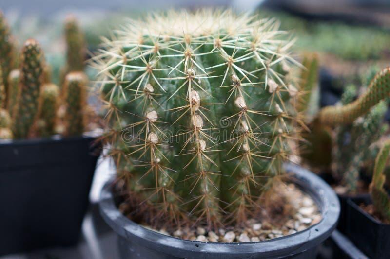 El cactus es un miembro del Cactaceae de la familia de plantas a la familia que comprende cerca de 127 géneros con un ciertas esp fotos de archivo libres de regalías