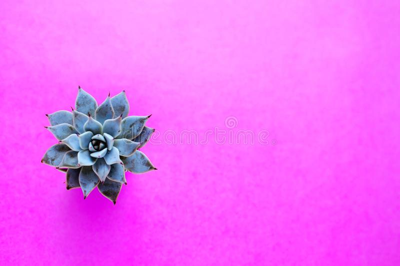El cactus es una planta suculenta en un fondo magenta fotos de archivo