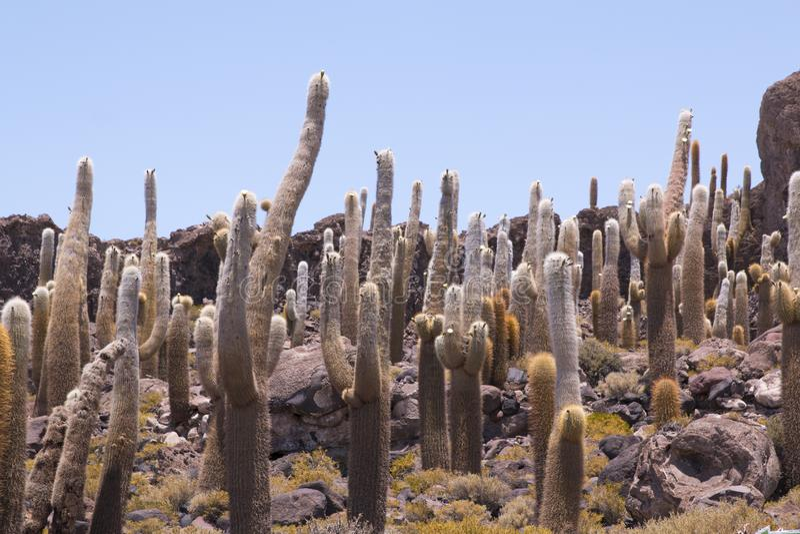 El cactus grande en la isla de Incahuasi, sala a Salar de Uyuni plano, Altiplano, Bolivia foto de archivo