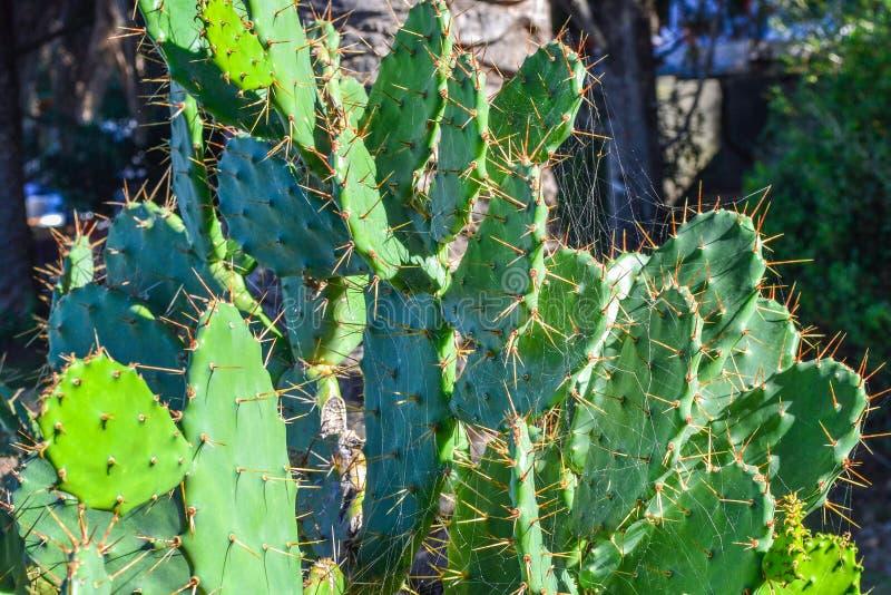 El cactus grande verde hermoso crece en la calle foto de archivo