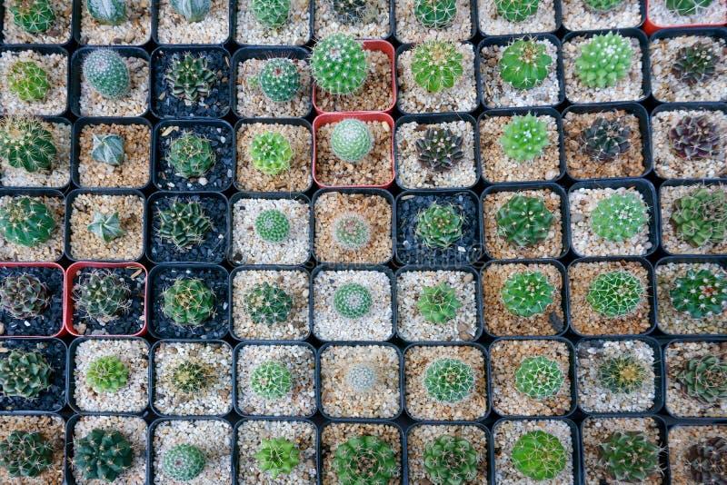 El cactus pequeño allí es muchas variedades en un pote foto de archivo libre de regalías
