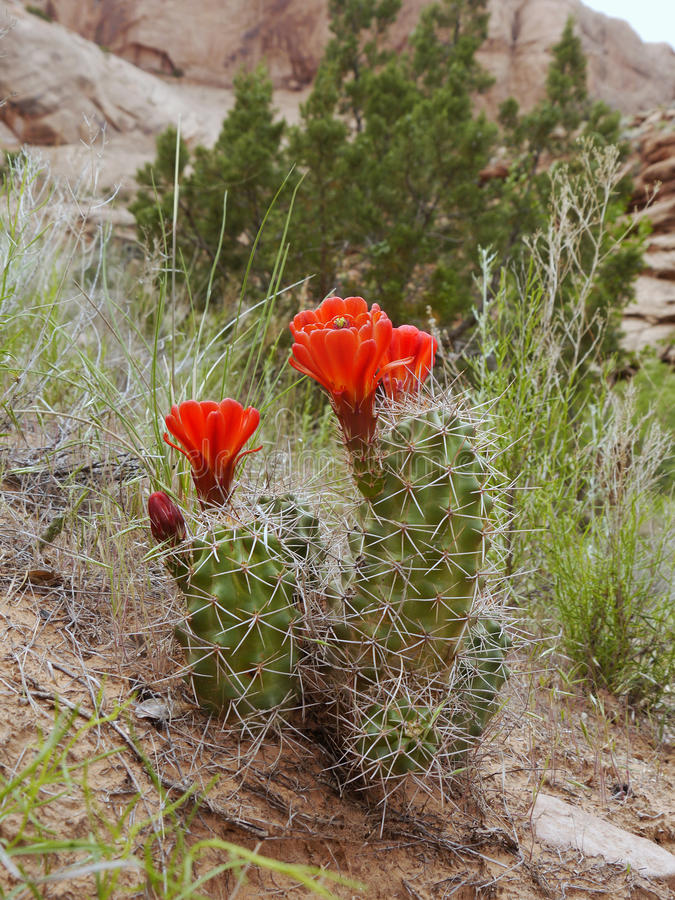 El cactus rojo florece la floración fotos de archivo libres de regalías