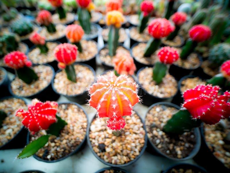 El Cactuss arregló en fila imagenes de archivo