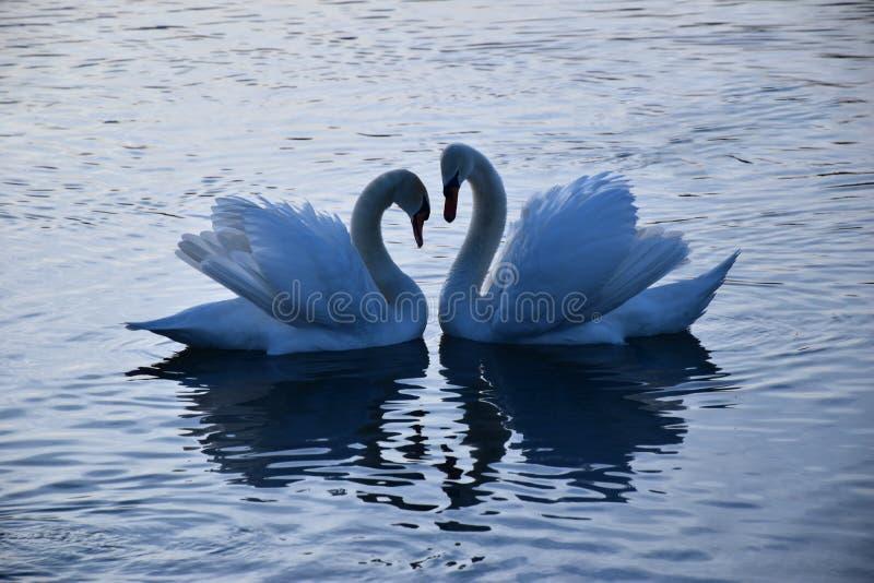 El caer en pares love_beautiful de cisnes hizo un corazón-schönes Schwäne paar, muere gemacht de Herz del ein foto de archivo libre de regalías