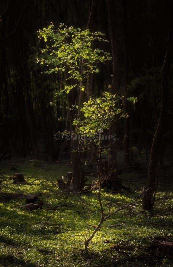 El caer ligera en árbol joven aislado foto de archivo