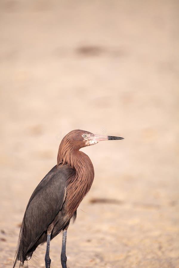 El caerulea del Egretta del pájaro de la garza de pequeño azul se coloca en una arena blanca b imagen de archivo libre de regalías