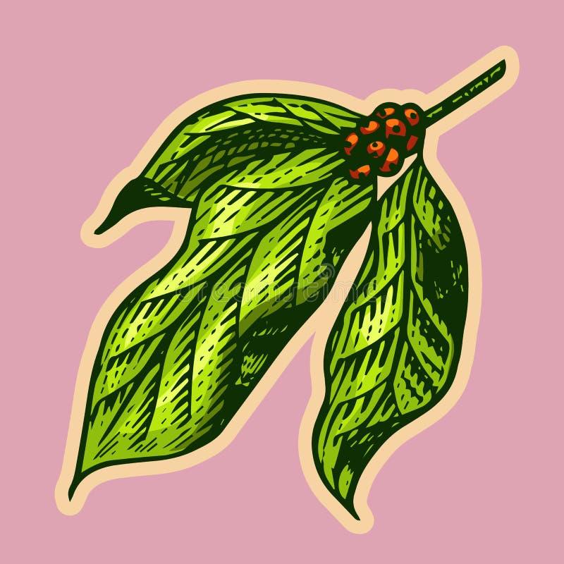 El café se va en estilo del vintage Bosquejo retro grabado exhausto de la mano para las etiquetas Planta natural orgánica, planti ilustración del vector