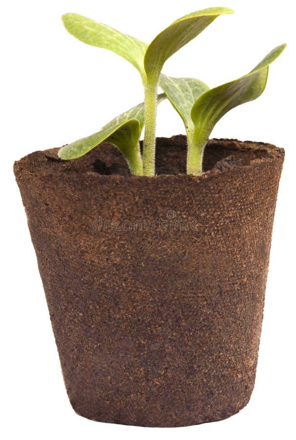 El calabacín que cultiva un huerto de las plantas de jardín aplasta plantas de semillero imagen de archivo libre de regalías