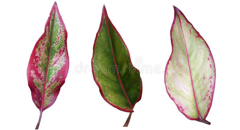 El Caladium es reina de la planta frondosa aislada en el fondo blanco ilustración del vector