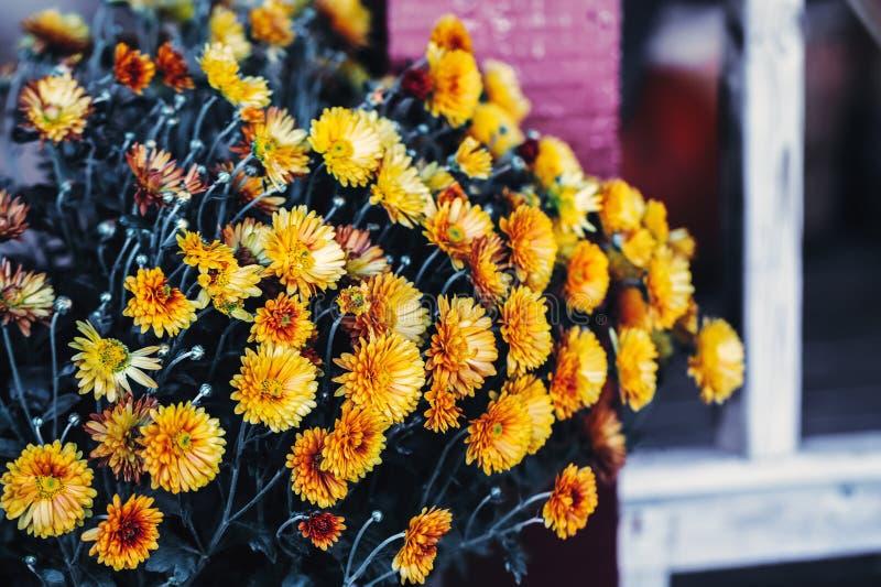 el calendula amarillo florece con las hojas verde oscuro, entonadas con los filtros del instagram en efecto retro del estilo del  imagenes de archivo