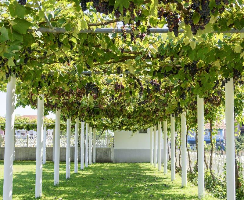El callejón con la uva vid-cubrió la pérgola fotos de archivo