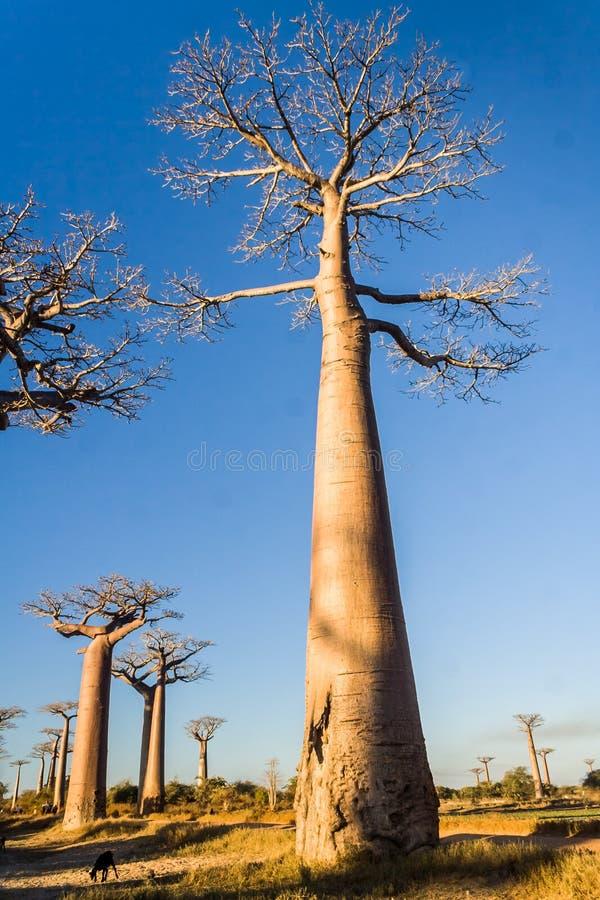El callejón del baobab foto de archivo