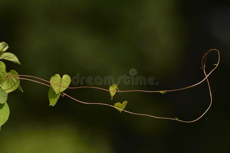 El calor formó las hojas - vid salvaje Zarcillos cerrados imagen de archivo libre de regalías