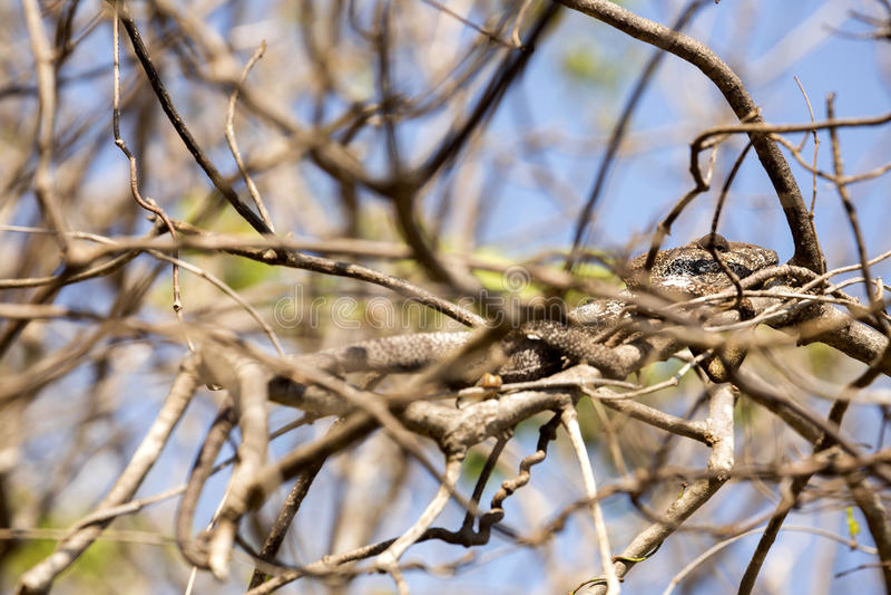 El camaleón del ` s de Petter, Furcifer Petteri es relativamente abundante en las zonas costeras de Madagascar septentrional foto de archivo