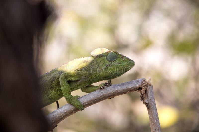El camaleón del ` s de Petter, Furcifer Petteri es relativamente abundante en las zonas costeras de Madagascar septentrional imagen de archivo