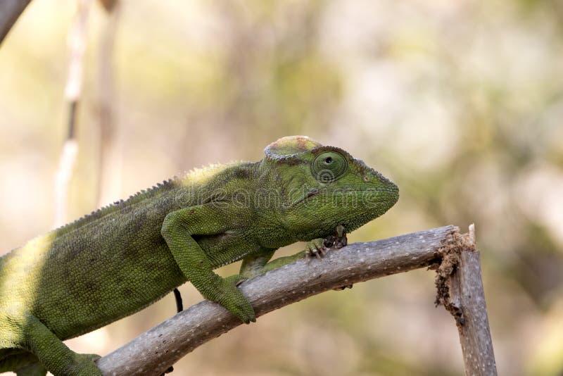 El camaleón del ` s de Petter, Furcifer Petteri es relativamente abundante en las zonas costeras de Madagascar septentrional fotos de archivo libres de regalías