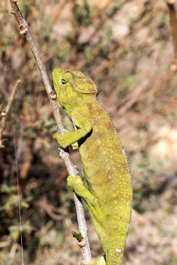 El camaleón del ` s de Petter, Furcifer Petteri es relativamente abundante en las zonas costeras de Madagascar septentrional imagen de archivo libre de regalías