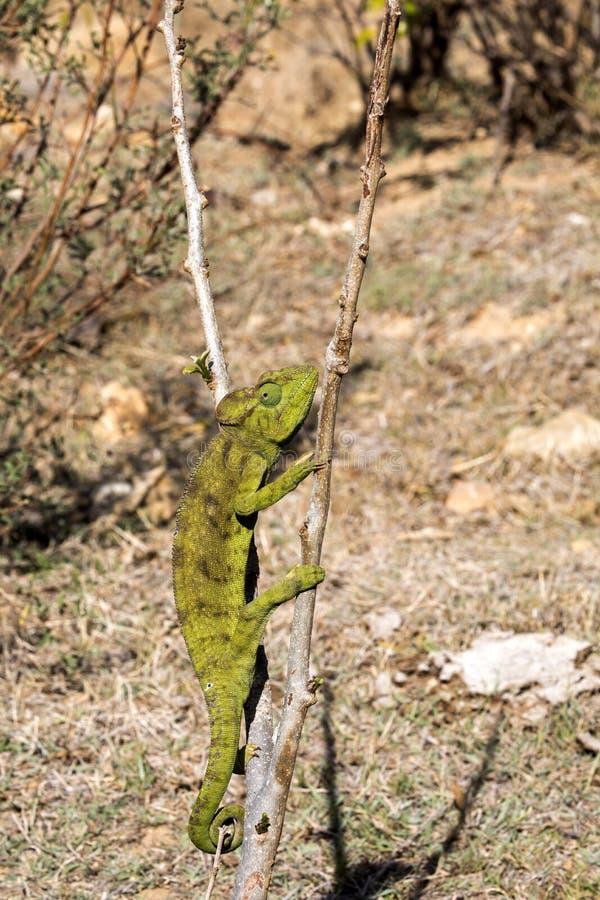 El camaleón del ` s de Petter, Furcifer Petteri es relativamente abundante en las zonas costeras de Madagascar septentrional fotos de archivo