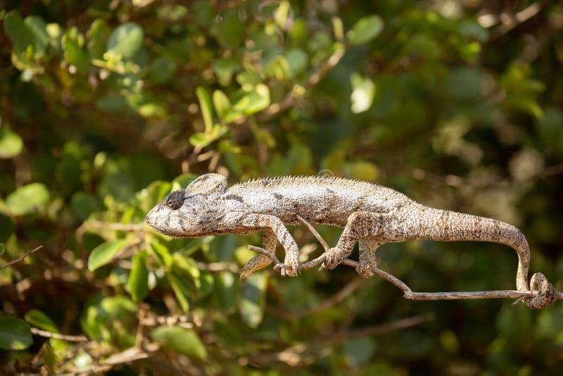 El camaleón del ` s de Petter, Furcifer Petteri es relativamente abundante en las zonas costeras de Madagascar septentrional fotografía de archivo
