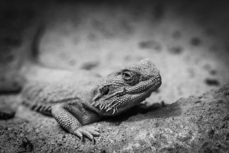 El camaleón en el desierto foto de archivo libre de regalías