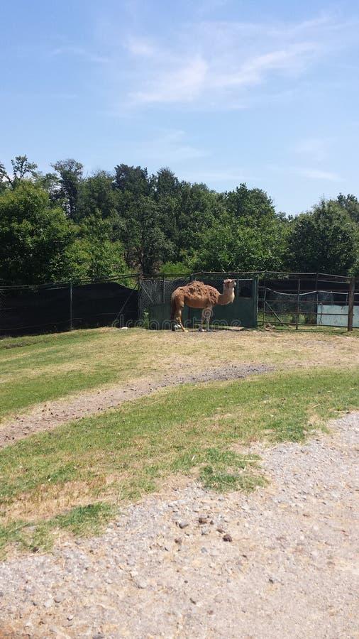 El camello imagen de archivo libre de regalías