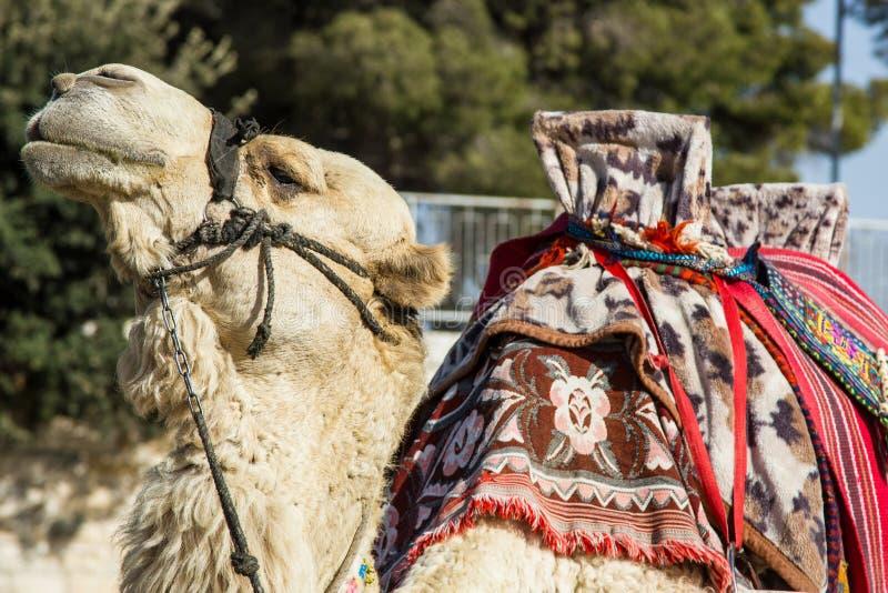 El camello de la señal de Jerusalén está esperando a sus huéspedes, Israel imagen de archivo libre de regalías
