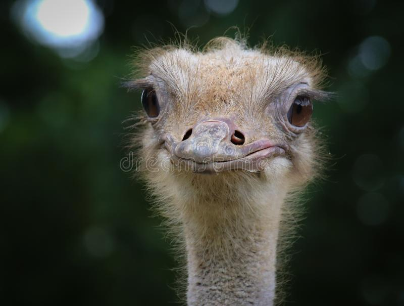 El camelus com?n del Struthio de la avestruz fotografía de archivo libre de regalías