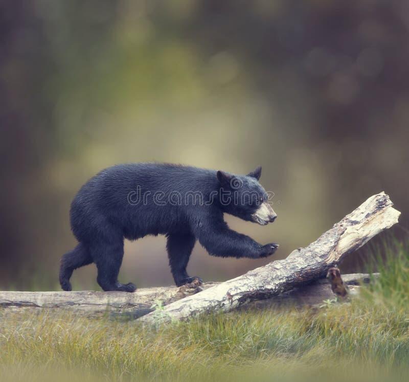 El caminar americano del oso negro fotografía de archivo