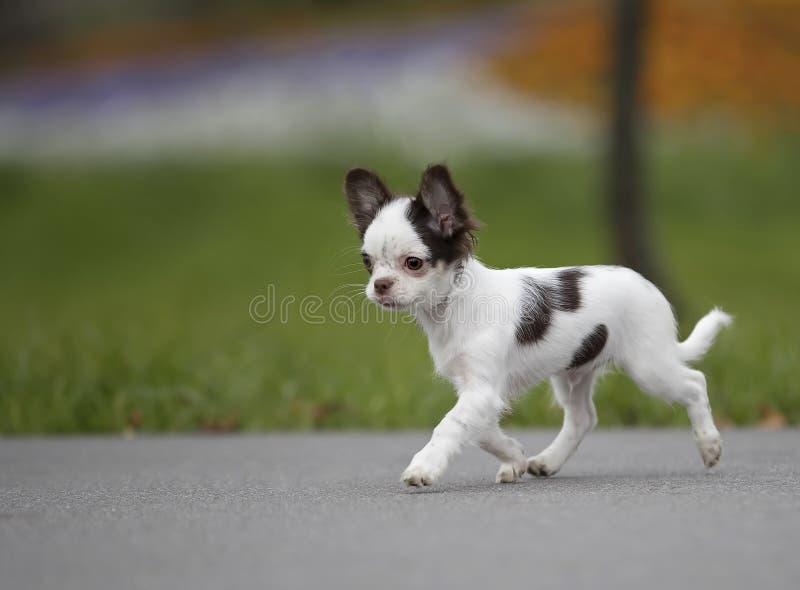 El caminar blanco y negro del perrito de la chihuahua foto de archivo libre de regalías