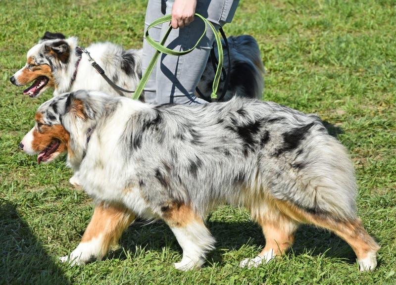 El caminar con dos perros en el parque fotos de archivo libres de regalías