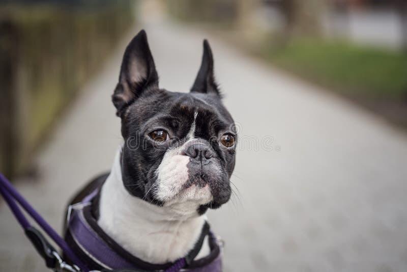 El caminar con una Boston Terrier imágenes de archivo libres de regalías