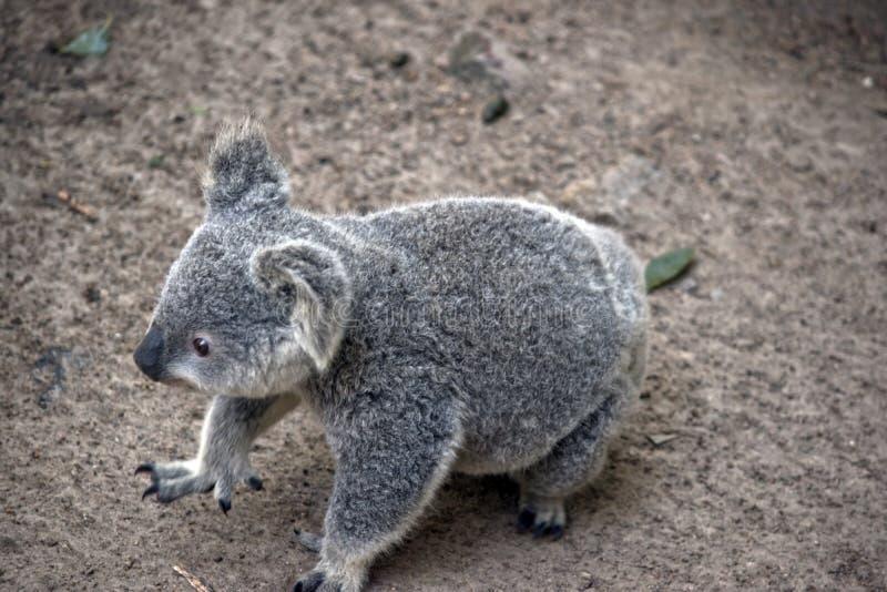 El caminar de la koala del joey fotos de archivo
