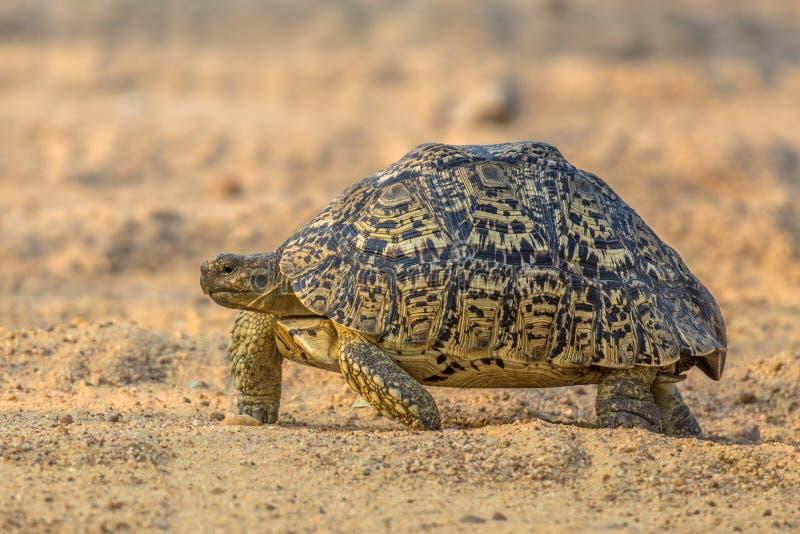 El caminar de la tortuga del leopardo foto de archivo