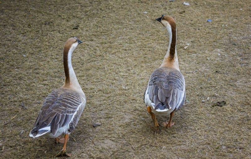 El caminar de los patos imagen de archivo libre de regalías
