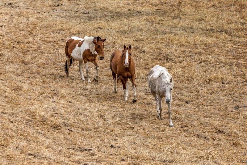El caminar de tres caballos fotos de archivo libres de regalías