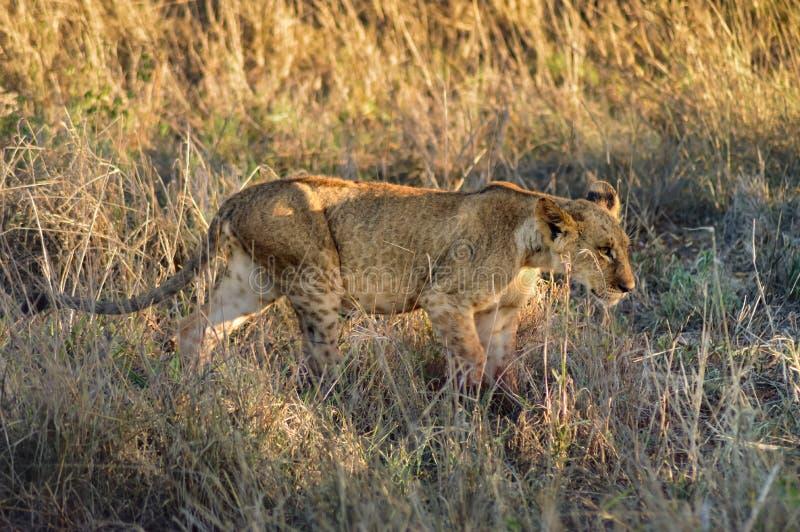 El caminar del cachorro de león foto de archivo libre de regalías