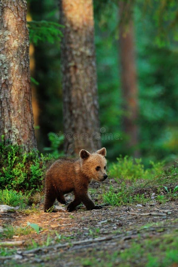 El caminar del cachorro de oso de Brown fotografía de archivo