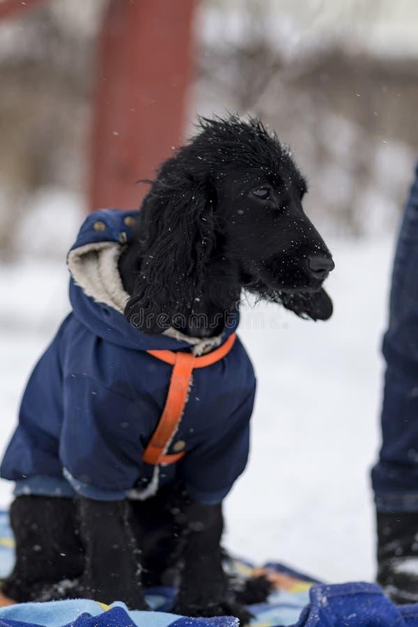 El caminar del invierno de cocker spaniel foto de archivo libre de regalías