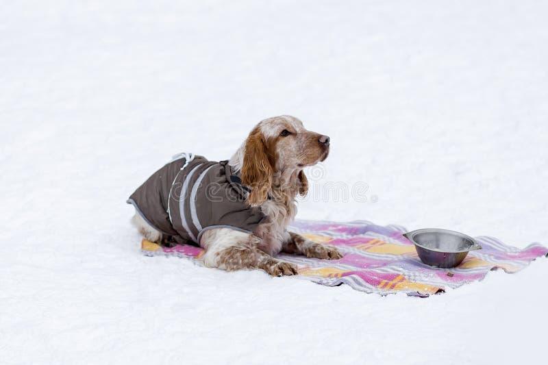 El caminar del invierno de cocker spaniel fotos de archivo libres de regalías