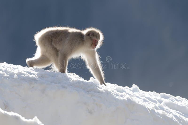 El caminar del mono de la nieve imagenes de archivo
