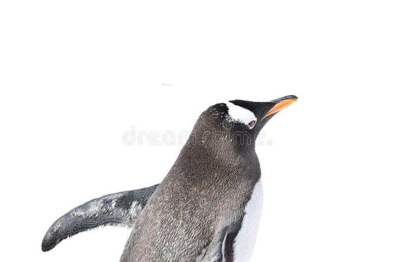 El caminar del pingüino de emperador del bebé aislado en el fondo blanco fotos de archivo libres de regalías