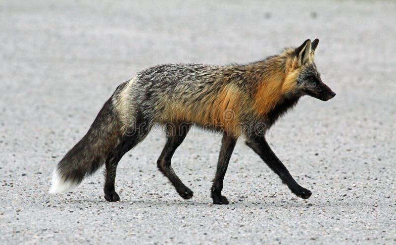 El caminar del zorro de gris foto de archivo libre de regalías