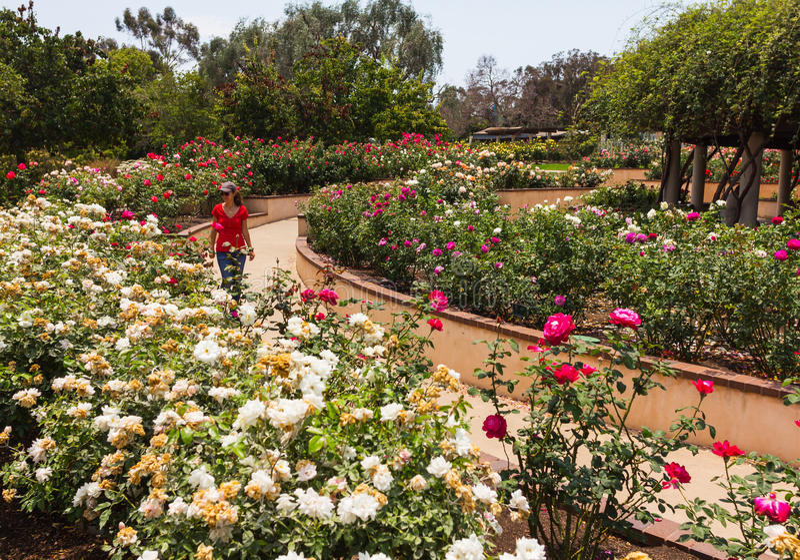 El caminar en una rosaleda imagen de archivo