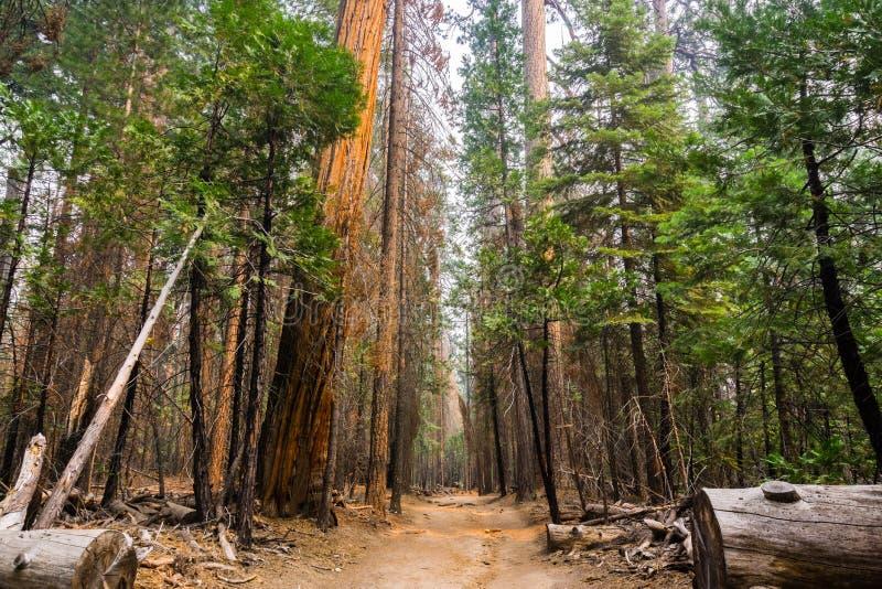 El caminar en una trayectoria ancha a través de los bosques del parque nacional de Yosemite fotos de archivo