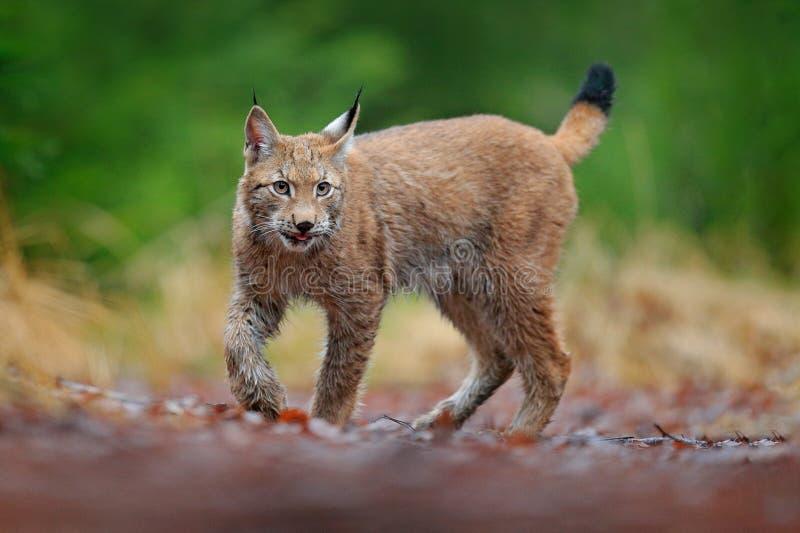 El caminar eurasi?tico del lince Gato salvaje de Alemania Lince entre los ?rboles Carn?voro de la caza en hierba del oto?o Lince  imagen de archivo